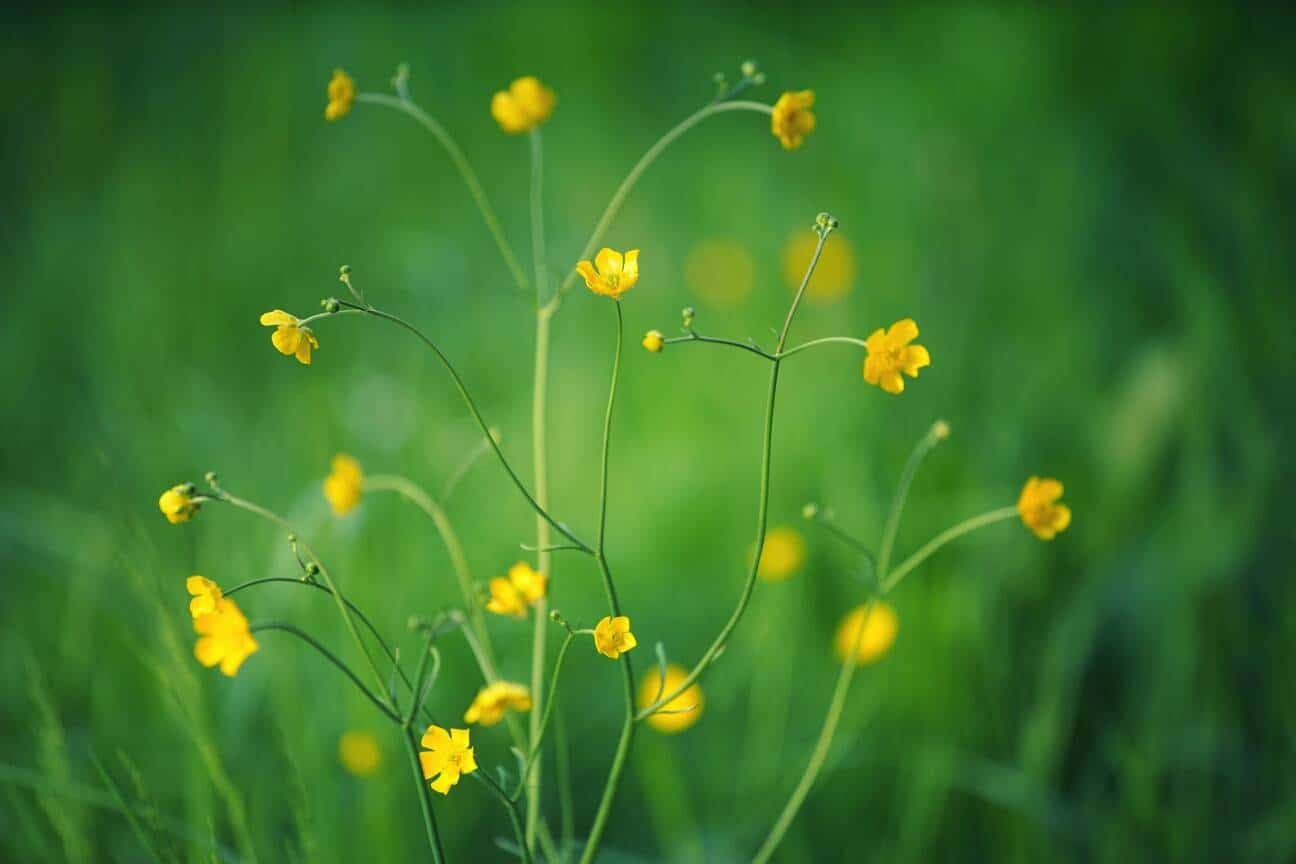 tiny yellow buttercup flowers on grassland