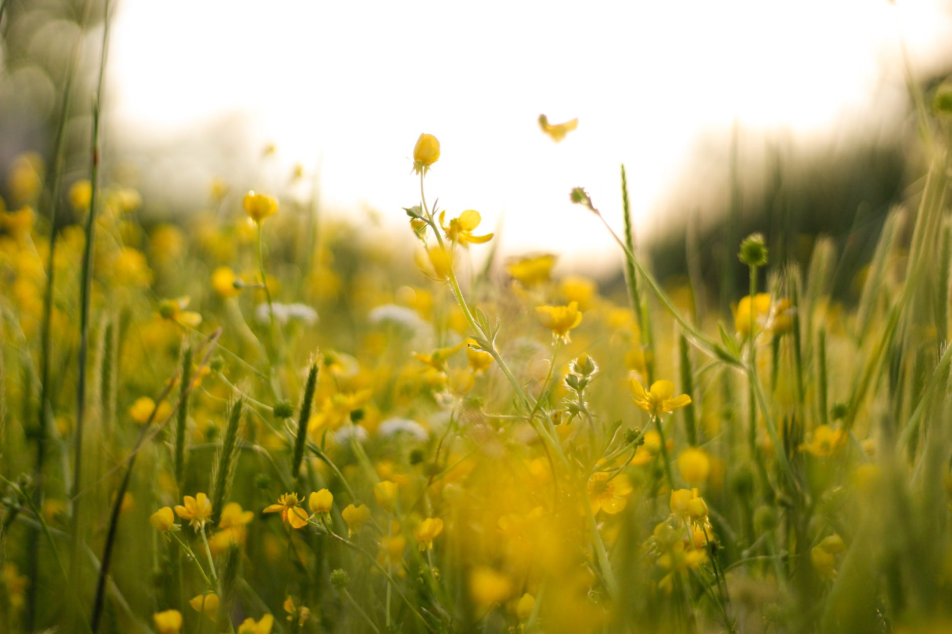 picturesque field with small yellow wildflowers